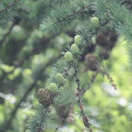 by Amanda Nolan - Nature Up Close Trees & Bushes ( #pine, #tree, #nature, #branch, #cone )