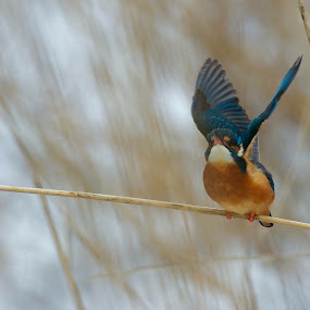 Kungsfiskare by Michael Pelz - Animals Birds