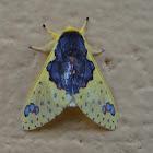 Amaxia Moth
