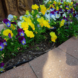 Rays of Color by Davina Michelle - Novices Only Flowers & Plants ( yellow flowers, white flower, purple, blue, purple flowers, green, brick, white, flower bed, sun light, blue flower, yellow, flowers )
