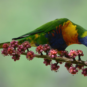 Rainbow by Darren Merrills - Animals Birds