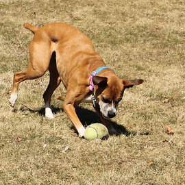 get it by Jackie McCorkle Tepe - Animals - Dogs Playing