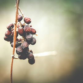 Wild Berries Trying to Hide From Winter's Wrath by Rob Heber - Nature Up Close Other plants ( natural light, detail, stick, change, still life, shallow depth of field, nature, drying up, bunch, closeup, fruit, vine, texture, transition, plant life, close up, winter, wilting, focus on foreground, outdoors, selective focus, branch, wild berries, decay, rotting, growth, berries )