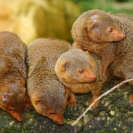 Dwarf Mongoose family by Gérard CHATENET - Animals Other Mammals