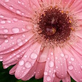 Rainy Day Flower by Sandy Hogan - Flowers Single Flower ( flower_raindrops, gerber daisy, daisy, rainy day flowers, raindrops, rain drops, flowers, flower,  )
