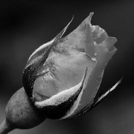Rose bud by SANGEETA MENA  - Black & White Flowers & Plants