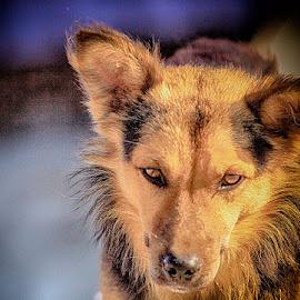Thoughtfulness by Radu Eftimie - Animals - Dogs Portraits ( dog, close up, portrait )
