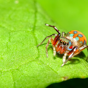 Colourful spider by Ramlan Abdul Jalil - Animals Insects & Spiders