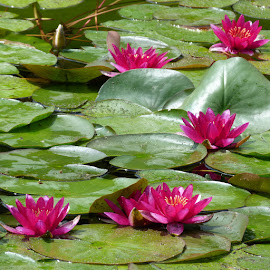 For pleasure by Helena Moravusova - Flowers Flower Gardens ( water lilly, nature, flower )