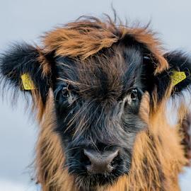 Highland Calf by Nigel Bishton - Animals Other ( calf, adorable, highlands, portrait )