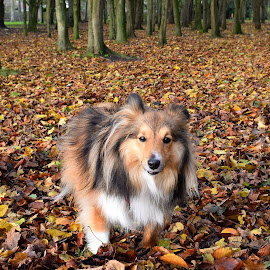 Benji in the autumn leaves by Fiona Etkin - Animals - Dogs Portraits ( nature, autumn, shetland sheepdog, forest, dog, leaves, woods, sheltie )