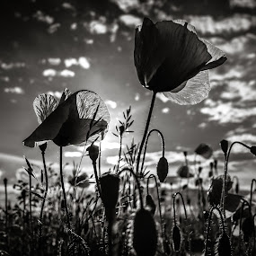 poppies by Popa Marius - Landscapes Prairies, Meadows & Fields ( clouds, water, monochrome, weather, forest, transylvania )
