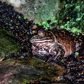 Frog in Baltimore by Gregory Evans - Animals Amphibians ( color, frog, green, moss, rocks )