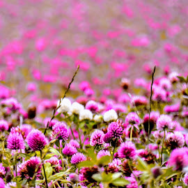 A Field Of Pink Clover  by Ian Popple - Abstract Patterns ( abstract, field, colourful, pink, summertime, clover,  )