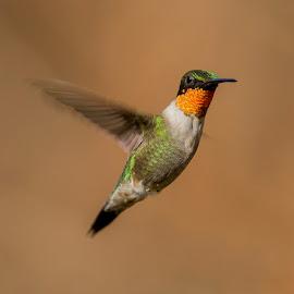 Ruby Red by Lynn Kohut - Animals Birds ( bird, flying, nature, hummingbird, nature up close )