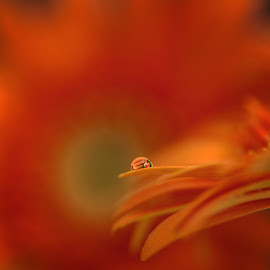 by Bojan Bilas - Abstract Macro ( macro, nature, flora, flowers, waterdrops, dahlia, closeup )