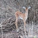 Juvenile Impala