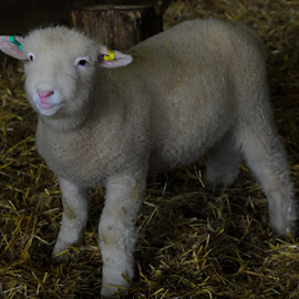 lamb by H Osborne - Animals Other