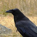 Raven eating ground squirrel(Otospermophilus beecheyi)