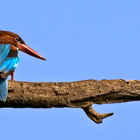 Blue Beauty by Sutapa Karmakar - Animals Birds