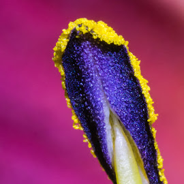 Day Lily Anther by Carl Albro - Abstract Macro ( flower up close, macro, purple, yellow, flower )