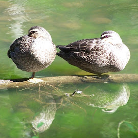 Ducks by Sarah Harding - Novices Only Wildlife ( reflection, nature, ducks, novices only, wildlife )