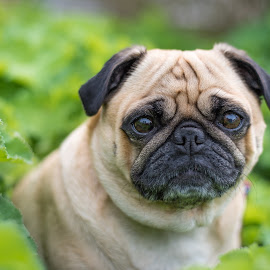 daisy 2 by Jennifer Wollman - Animals - Dogs Portraits ( animals, pet photography, dogs outdoors, dog portrait, pugs )