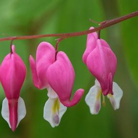 Bleeding Hearts by Judy Florio - Flowers Flower Gardens ( macro, flowers, pink, nj meadowlands, green, bleeding hearts,  )
