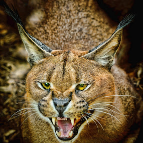 Irritated Caracal by Judy Rosanno - Animals Lions, Tigers & Big Cats ( cat, caracal, lynx, african lynx, desert lynx, animal,  )