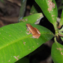 Dark-Sided Chorus Frog