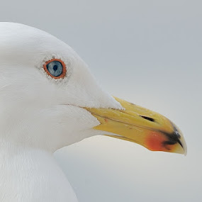 by Fabio Ponzi - Animals Birds ( seagull, red, blue, yellow )