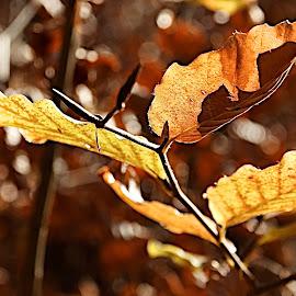 Maienfeld - Malans by Serguei Ouklonski - Nature Up Close Trees & Bushes ( dry, flora, bright, change, no person, desktop, leaf, graubünden, landscape, close-up, nature landscape, fair weather, environment, nature, season, tree, color, fall, outdoors, switzerland, branch, gold, light, glarus )