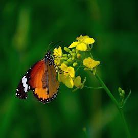 monarch on mustard flower by Abdul Haseeb - Digital Art Animals