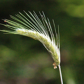 Wild wheat by Terry Linton - Nature Up Close Leaves & Grasses (  )