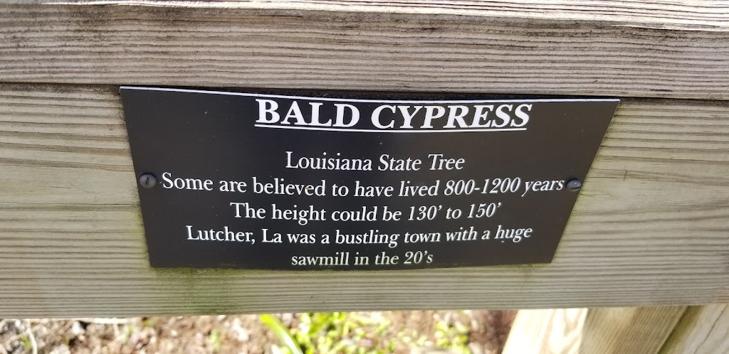Louisiana State Tree. Some are believed to have lives 800-1200 years. The height could be 130' to 150'. Lutcher, LA was a bustling town with a huge sawmill in the 20's.