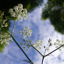 Cow parsley by Anita Berghoef - Nature Up Close Other plants ( reflection, cow parsley, nature, weed, summer, nature up close )