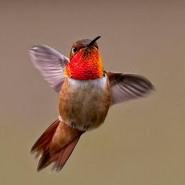 Rufous Hummingbird by Sheldon Bilsker - Animals Birds ( bird, nature, rufous hummingbird, animal )