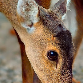 A little deer by Francois Wolfaardt - Uncategorized All Uncategorized ( face, nature, ears, brown, close-up, eyes, deer )