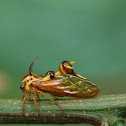 Wasp Mimicking Treehopper