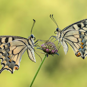 Papilio Machaons by Eric Niko - Animals Insects & Spiders ( butterfly, macro, papilio machaon, nature, summer, wildlife, bug, insect, twins,  )
