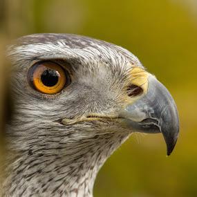 Goshawk by Andrew Moore - Animals Birds (  )