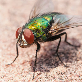 Fly  by Brandon Downing - Animals Insects & Spiders ( canon, macro, fly, colorado, bug, insect, closeup )