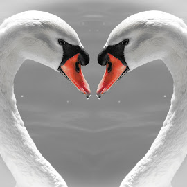 Swan Heart by Maija Lawrence - Digital Art Animals ( lake morton, heart, symbol of love, black and white, white swans, swan heart, orange beaks, lakeland florida )