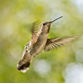 Hummingbird by Johannes Bichmann - Animals Birds