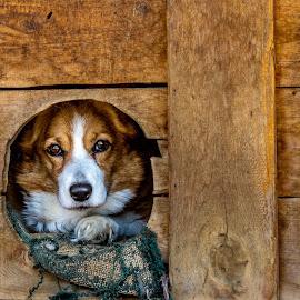 by Kevin Turner - Animals - Dogs Portraits ( corgi, dog portrait, dog, eyes )