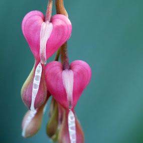 Couple of Bleeding Hearts by Josh Mayes - Nature Up Close Flowers - 2011-2013 ( love, two, valentine's, hearts, bleeding, pink, couple, flowers )