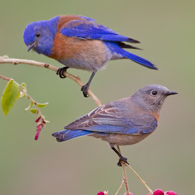 Mr. and Mrs. Bluebird by Phoo (mallardg500) Chan - Animals Birds