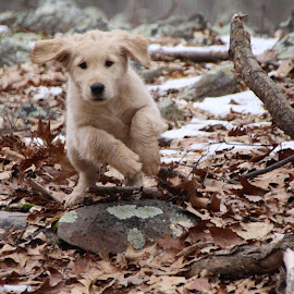 Jax Mid Leap by Ellee Neilands - Animals - Dogs Puppies ( canine, nature, pet, puppy, dog, cute, golden retriever )