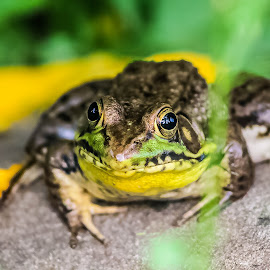 Frog by Kelsey Blakely - Animals Amphibians ( frog, green, outdoor, pond, live )