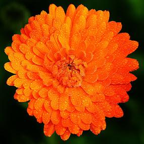 Explosion orange by Gérard CHATENET - Flowers Single Flower
